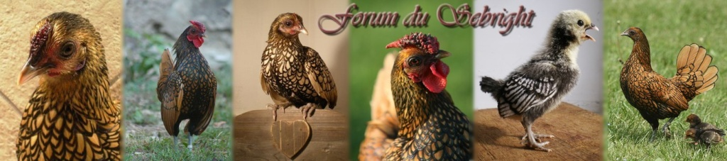 Forum du Sebright