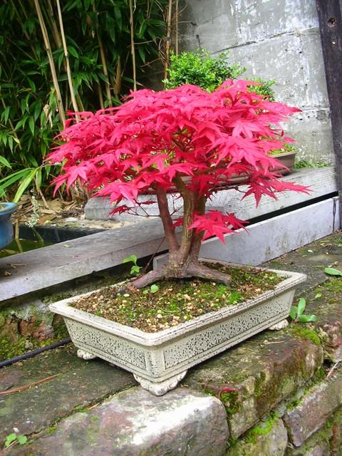 Maladie erable au jardin forum de jardinage - Maladie erable du japon ...