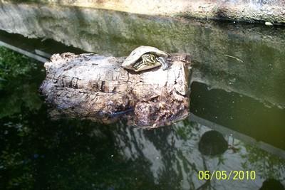 Tortue dans bassin avec faune sauvage au jardin forum de jardinage - Bassin tortue floride strasbourg ...