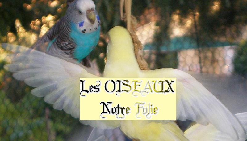 LES OISEAUX NOTRE FOLIE - LES PERRUCHES ONDULEES