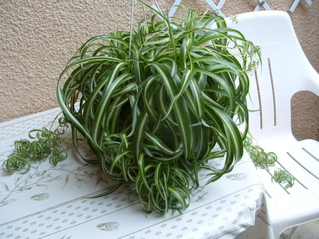 Chorophytum et mis re for Petites plantes vertes