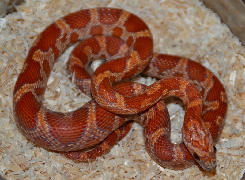 Hypo sunkissed het scaleless