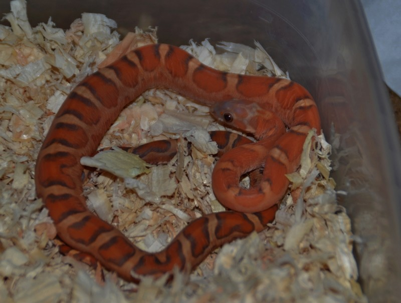 Sunkissed scaleless