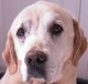 VALENTIN (mâle Labrador environ 10 ans) - arthrose et tumeur