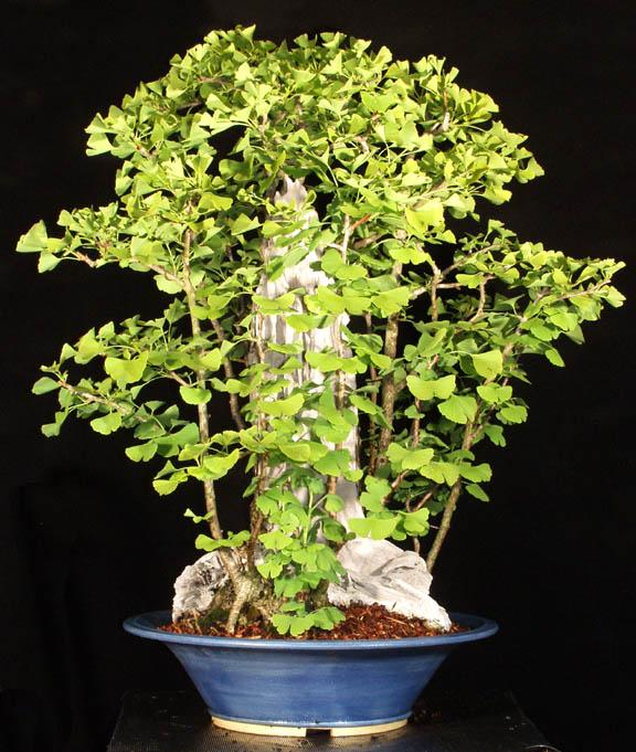 how to start ginkgo bonsai