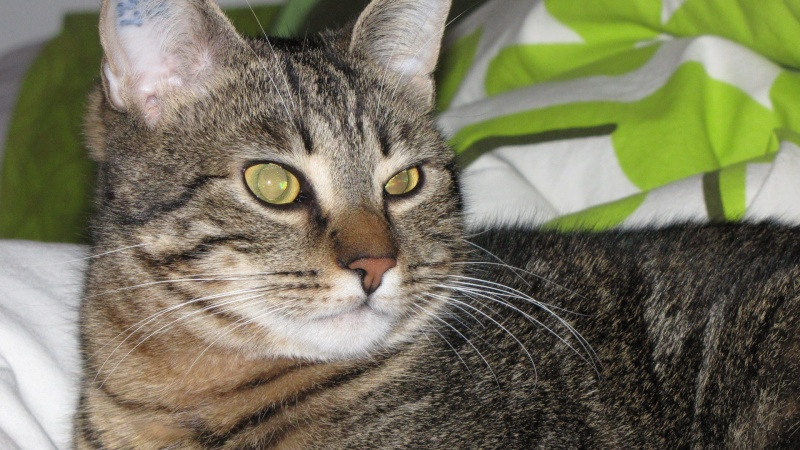 oeil purulent - Forum sur les chats