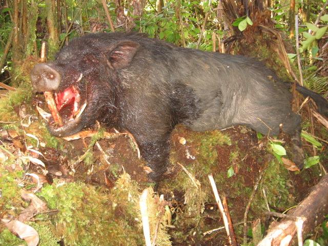Big Island Boar - 6-27-10