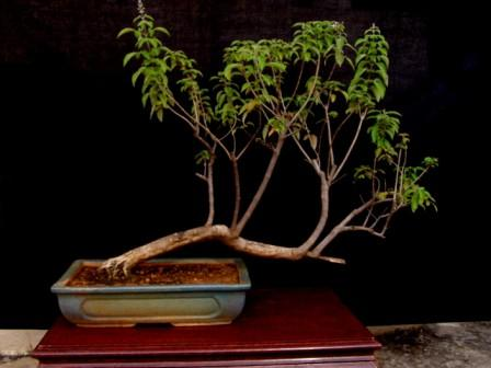 Rare species of bonsai page 5 for Rare bonsai species