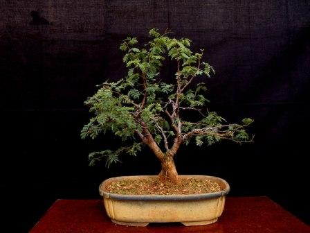 Rare species of bonsai page 1 for Rare bonsai species
