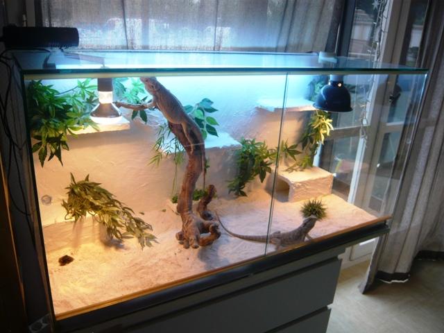 terrarium pogona