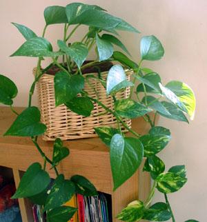 plantes retombantes non toxiques. Black Bedroom Furniture Sets. Home Design Ideas