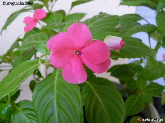 Impatiens - Plante interieur fleur ...