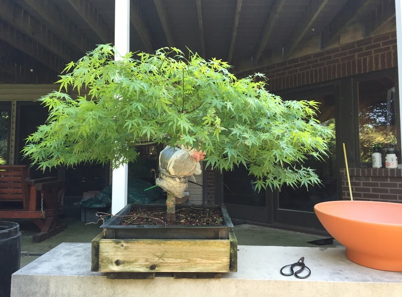Air layer Japanese Maple