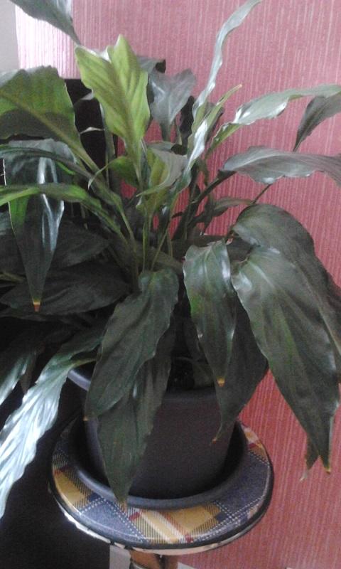 forums de jardinage afficher le sujet plante de magaditi. Black Bedroom Furniture Sets. Home Design Ideas