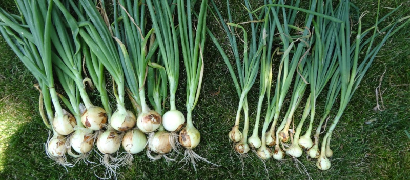onion_10.jpg