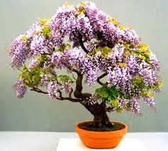 Paulownia omszona bonsai