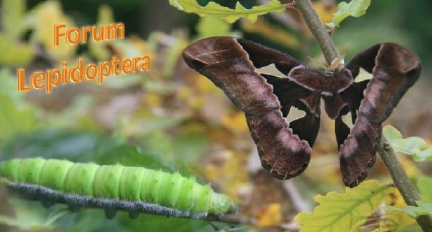 Forum lepidoptera