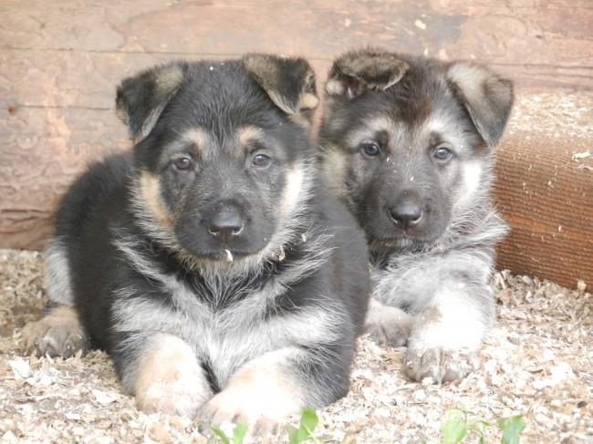 фото щенка восточно-европейской овчарки