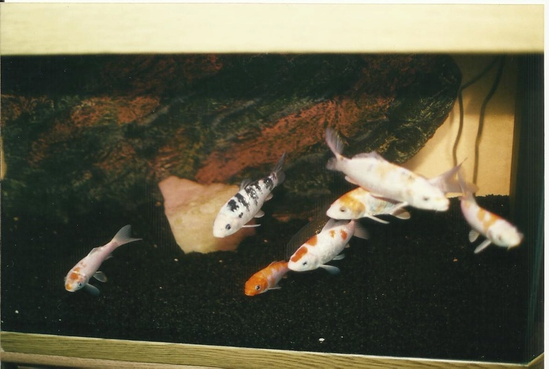 Baby koi in a fishtank for Baby koi carp
