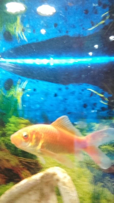 Poisson rouge oeil trange for Nourrir des poissons rouges